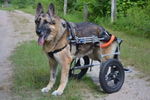 Emmy has a back injury and needs a wheelchair to get around. She still enjoys going for walks through the bush on her property.